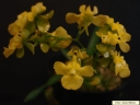 Oncidium cheirophorum.jpg